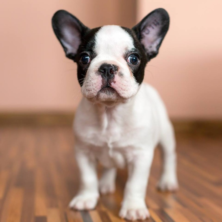 The Cutest Mini French Bulldogs You've Ever Seen